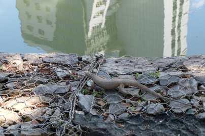 Baby monitor lizard